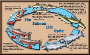 life cycle salmon