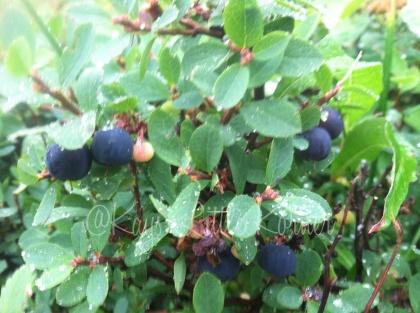 wild alaska blueberries