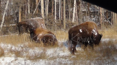 Buffalo along the highway