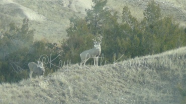 Trophy mule deer, Badlands