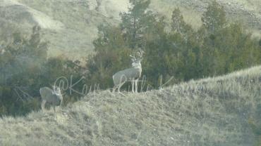 Trophy mule deer, Badlands