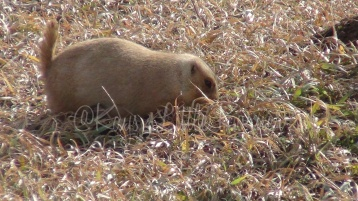 Prairie dog in Badlands